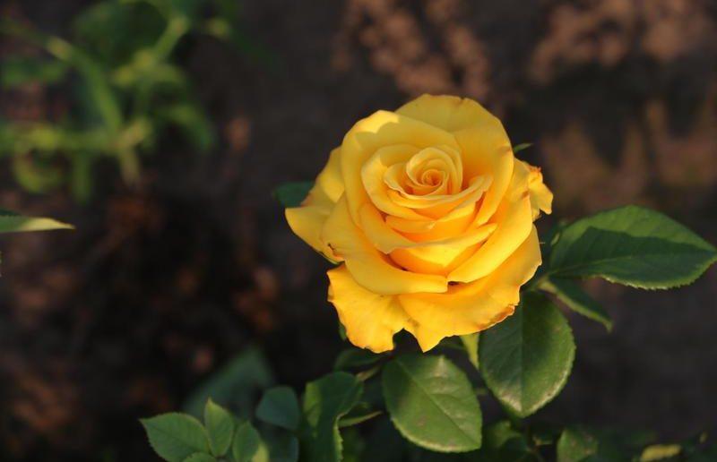 Роза сорта Керио