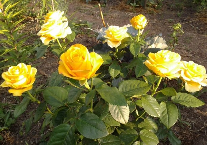Роза Керио на солнце