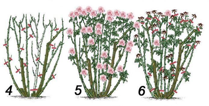 Обрезка взрослого куста чайно-гибридных роз