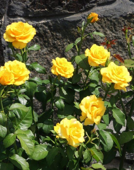 Цветущая роза Керио