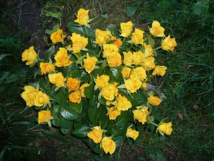 Куст роз сорта Керио