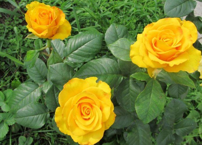 Цветы розы Керио