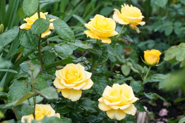 Цветущая роза Керио на солнце