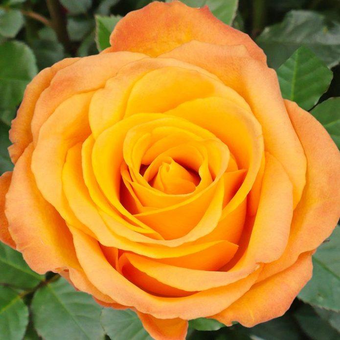 Роза Керио в тени