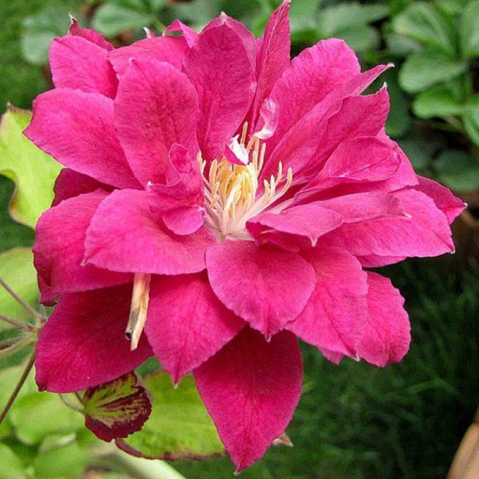 Цветок клематиса Ред Стар
