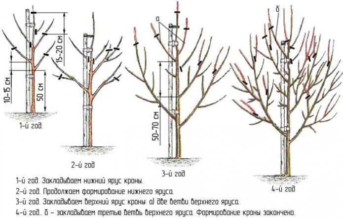 Формирование ярусов яблони