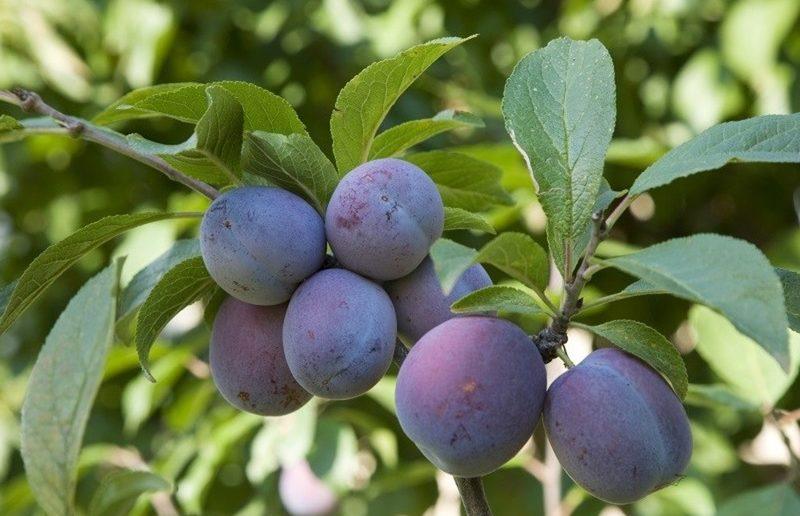 Плоды сливы домашней