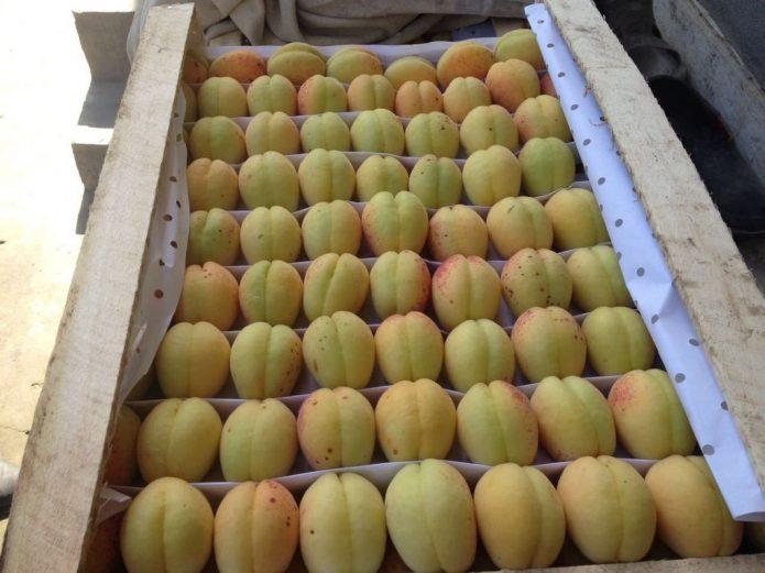 Искусственное дозревание абрикосов
