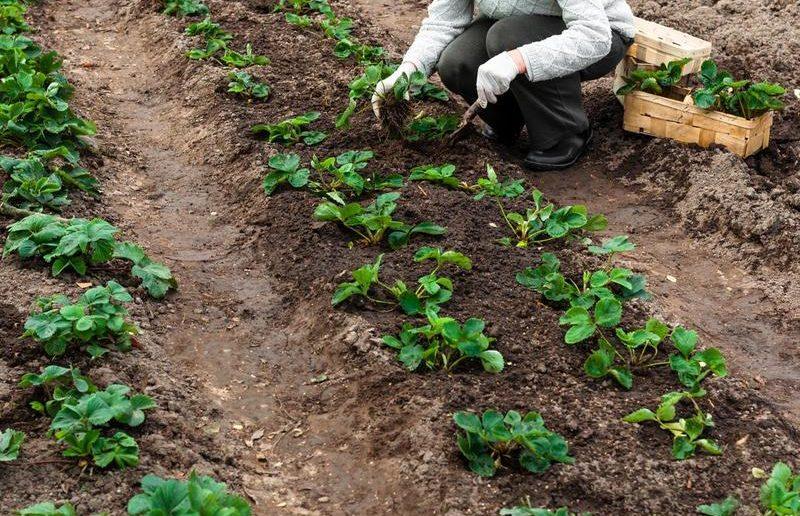 как посадить клубнику осенью на кубани