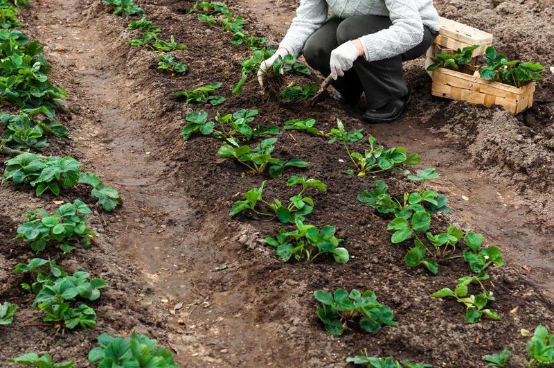 Когда лучше рассаживать клубнику осенью или весной