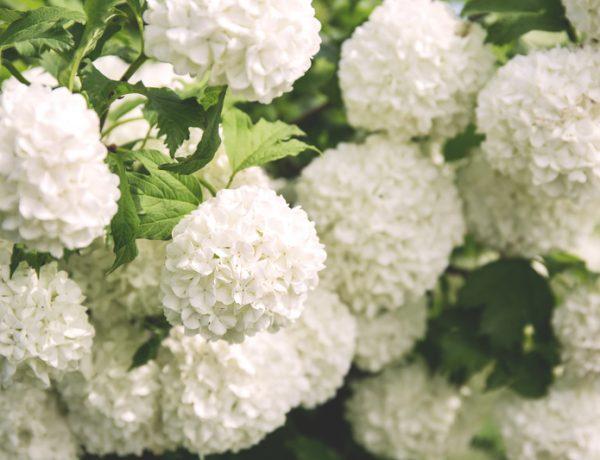Белая гортензия и калина Бульденеж – что лучше посадить?