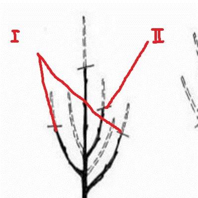 Формирование 1 и 2 яруса сливы при посадке двухлетнего саженца