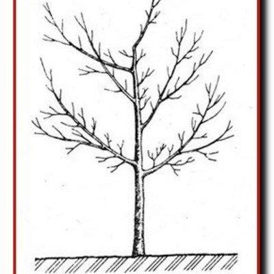 Сформированная разреженно-ярусной кроны сливового дерева на 3-й год