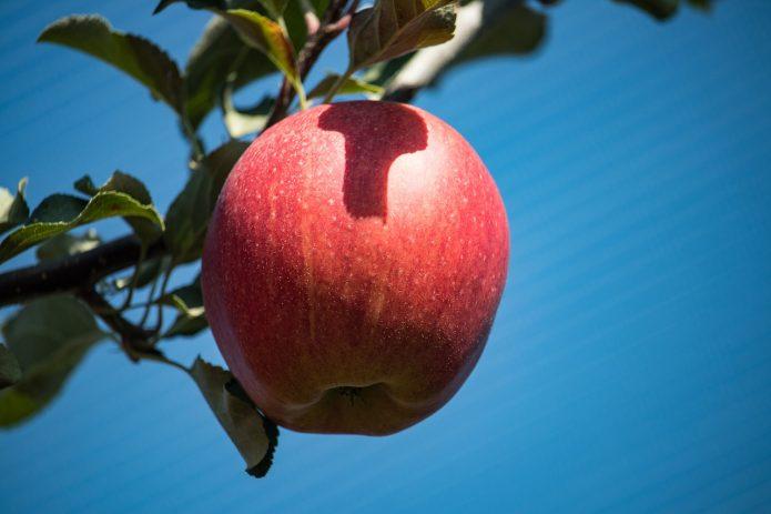 Яблоко в лучах солнца