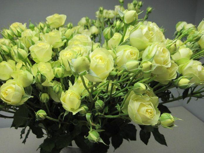 Зелёные кустовые розы