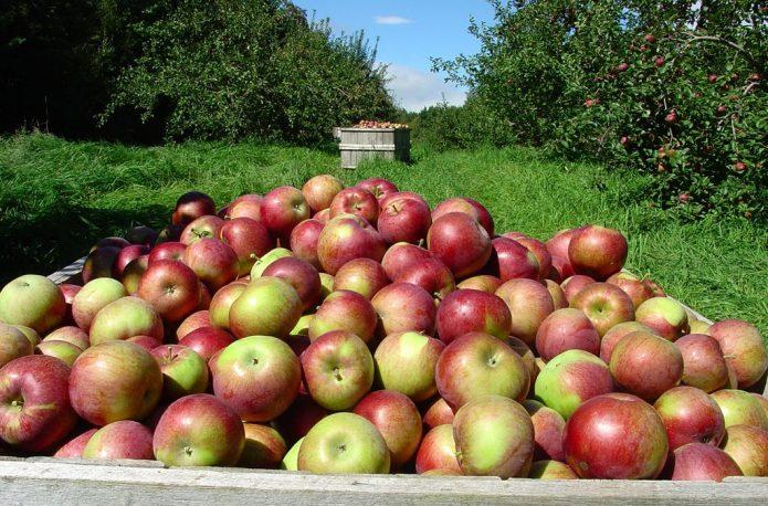 Урожай яблок в промышленном саду