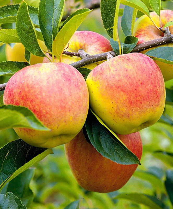 важно понимать, яблони для сибири сорта фото и описание чистом виде