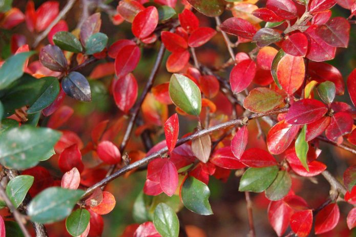 Листья кизильника блестящего