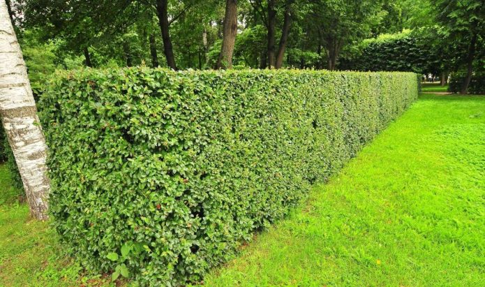 «Зелёный забор» из кизильника блестящего