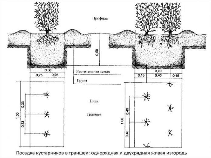Схема высадки живой изгороди из кизильника блестящего