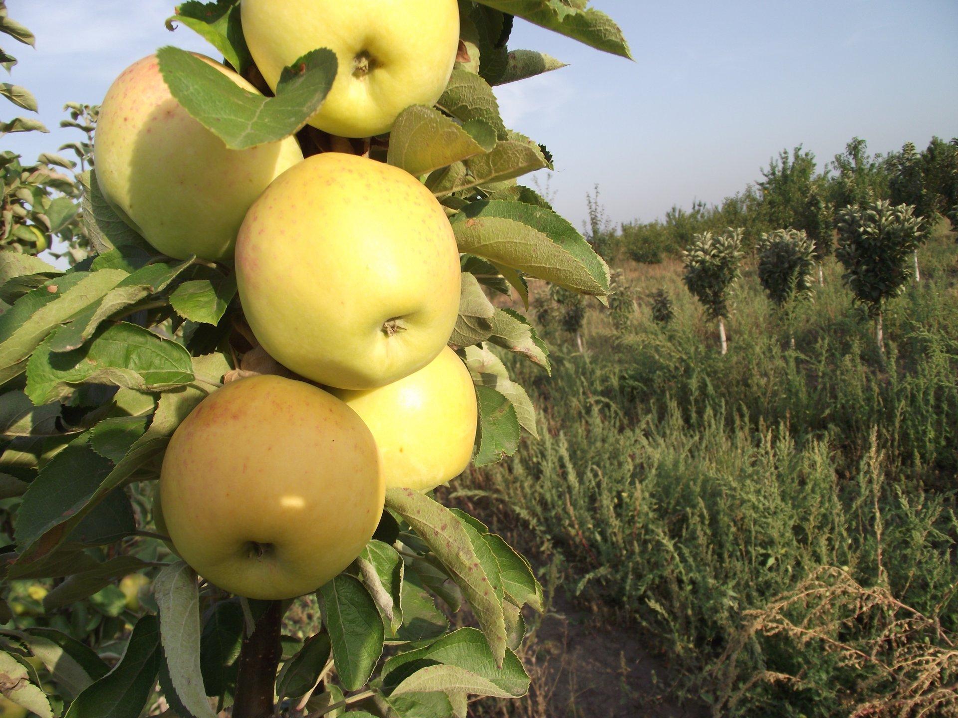 иркутской сорта колонн яблок описание и фото можете первом