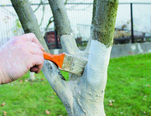 Побелка плодовых деревьев: когда и чем белить сад осенью и весной