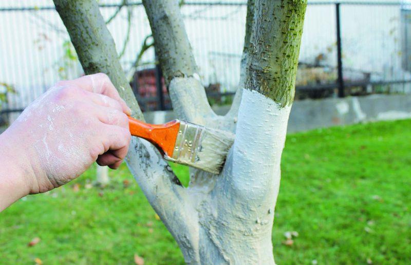 Побелка садового дерева