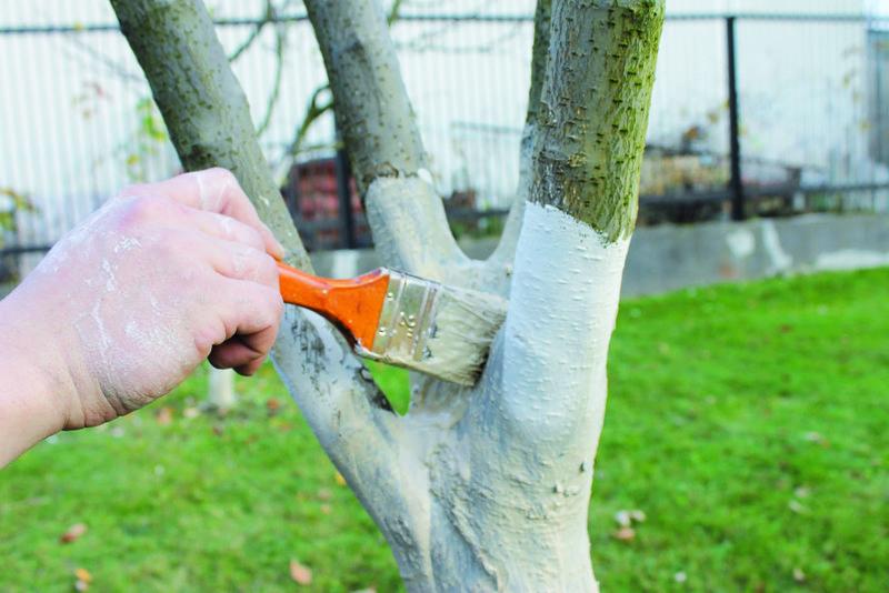 Побелка садовых деревьев осенью и весной: сроки, составы растворов