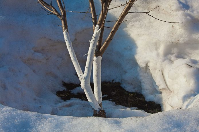 Дерево во время оттепели