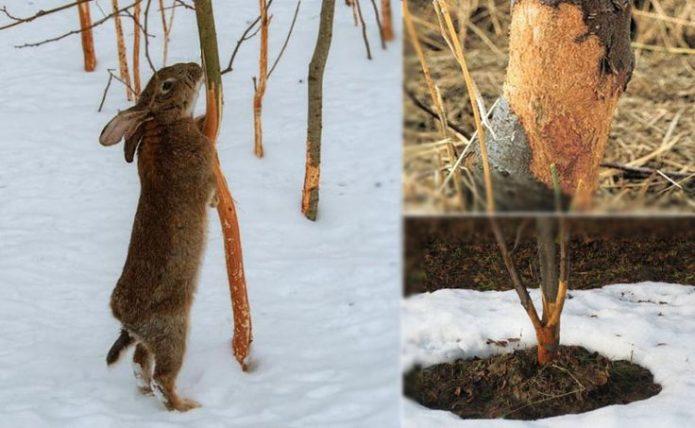 Подгрызенное зайцем дерево