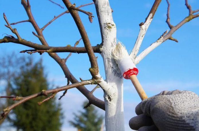 Побелка дерева в ясную погоду