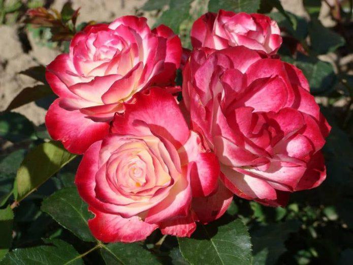 Розы Принц Монако на солнце