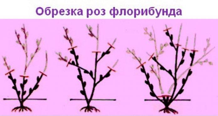 Обрезка роз флорибунда