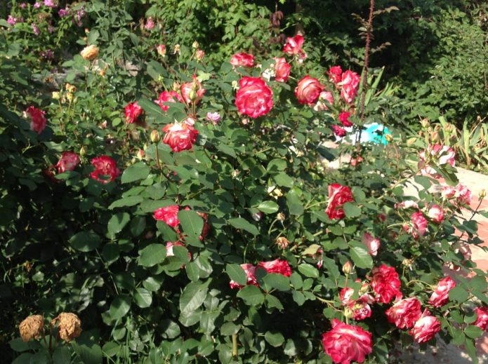 Куст роз Принц Монако