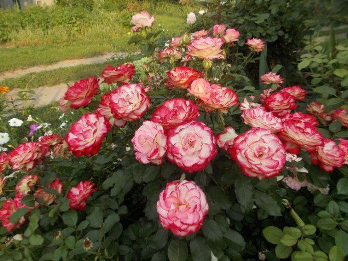 Цветущая роза Принц Монако