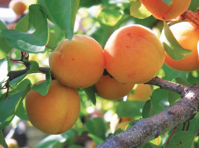 Ветка абрикоса Персиковый