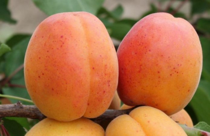Плоды абрикоса Персиковый