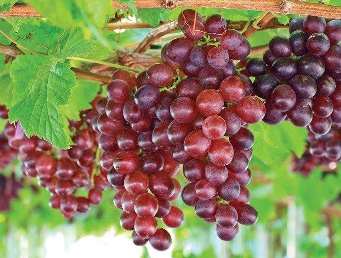 розовый виноград на кусте