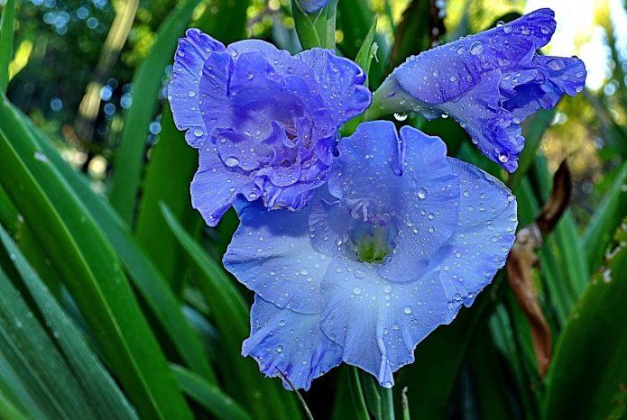 голубые гладиолусы
