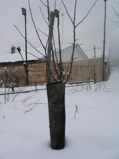 Способ обернуть дерево рубероидом зимой