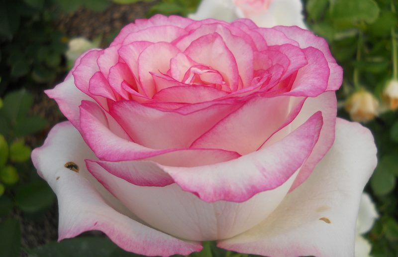 Роза сорта Дольче Вита
