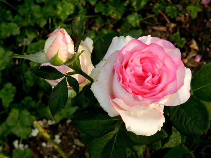 Роза Дольче Вита на солнце