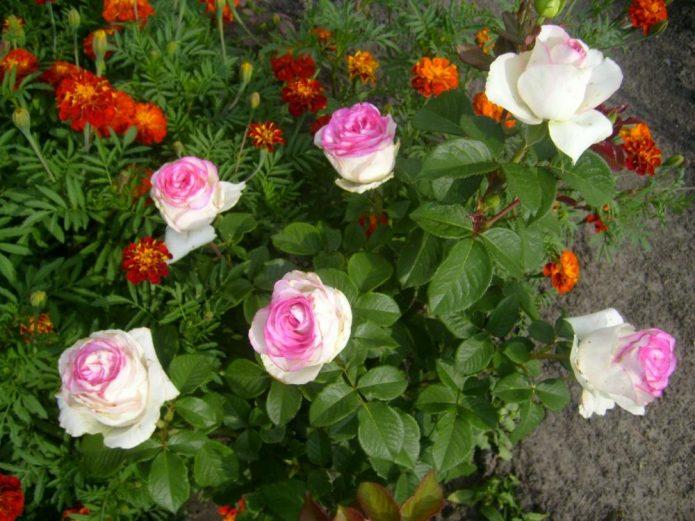 Куст роз Дольче Вита