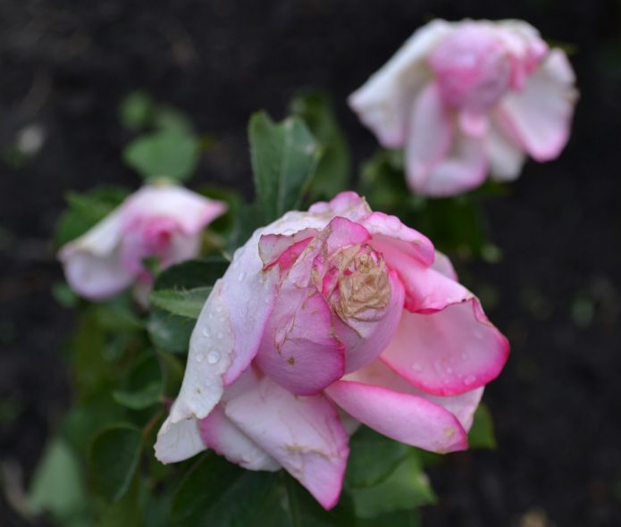 Роза Дольче Вита после дождя