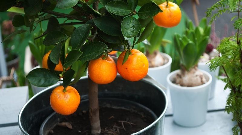 как ухаживать за мандаринами в домашних условиях