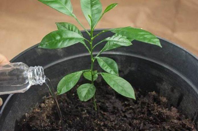 Полив мандарина — условие его роста