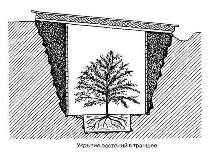 Траншея для плодового дерева
