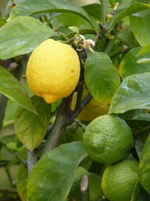 Зрелые и неспелые лимоны