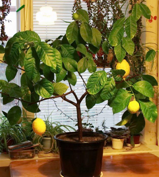 Крона лимона