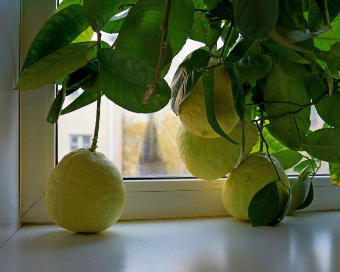 Урожай домашних лимонов